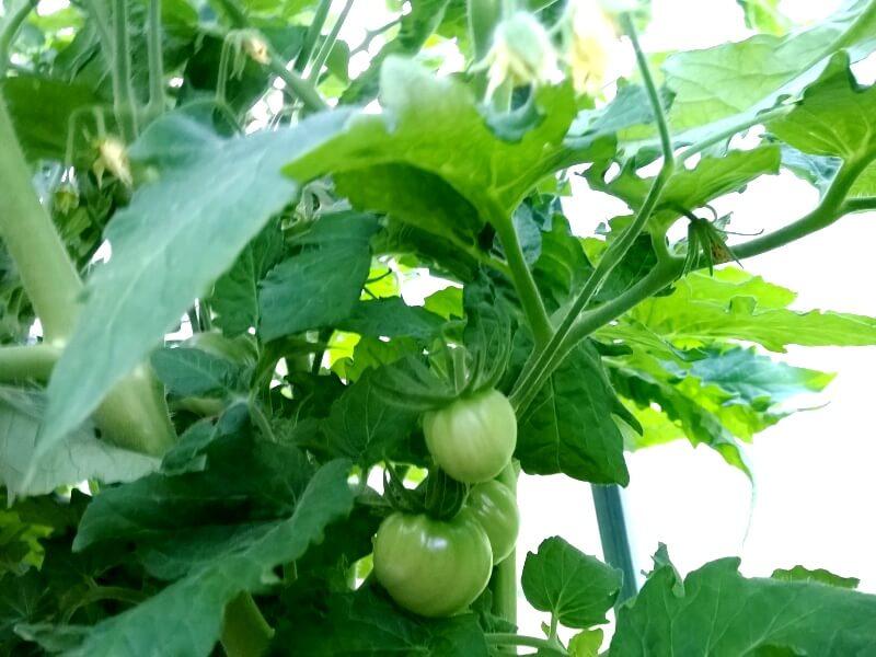 'Rozovaja strast' veislės pomidorai. Nuotr. aut. R. Varkalaitė-Bakienė.
