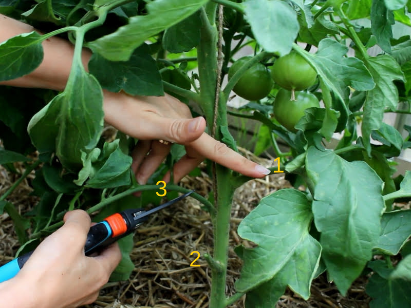 pomidoru genejimas