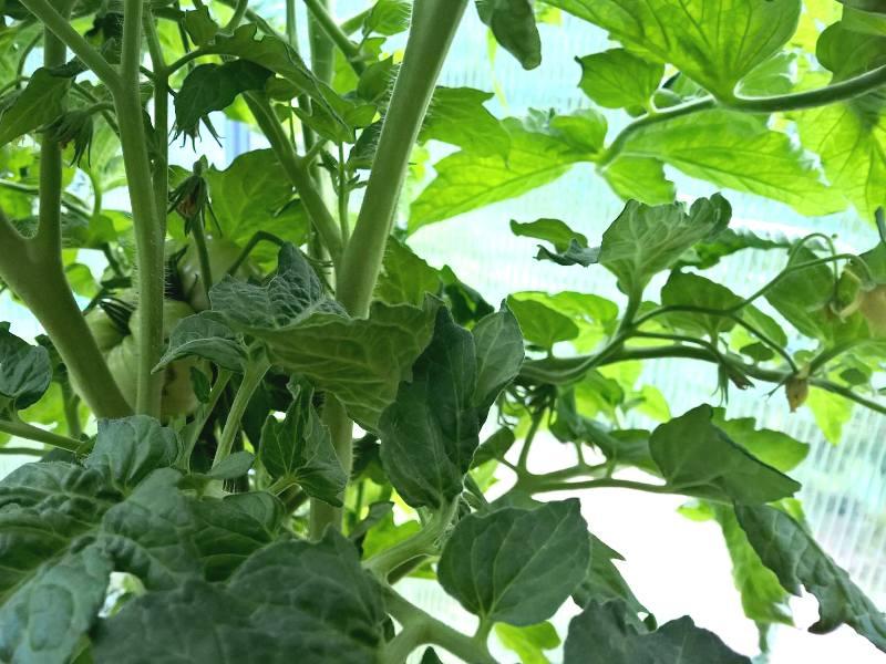 'Uluru ochre' veislės pomidorai. Nuotr. au.t. R. Varkalaitė-Bakienė.