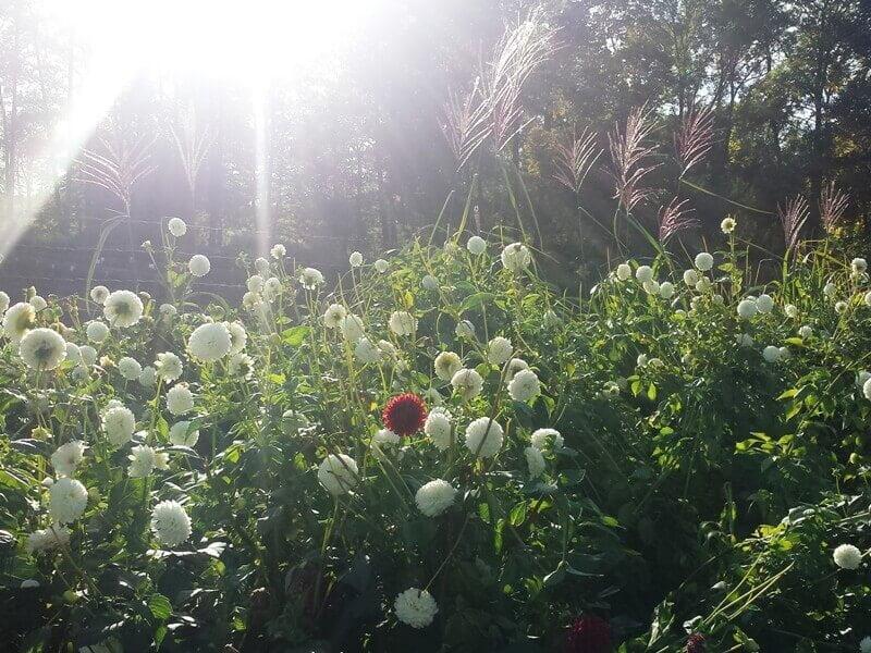 Kad atsiskleistų  visu grožiu, miskantams reikia saulės šviesos ir šilumos, tad vietą jų auginimui parinkite apgalvotai. Nuotr. aut. L. Liubertaitė.