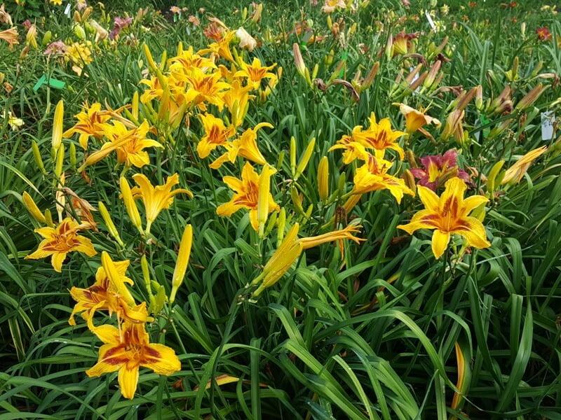 Viendienės ilgaamžis augalas, kuriam nereikia daug papildomos priežiūros. Nuotr. aut. L. Liubertaitė.