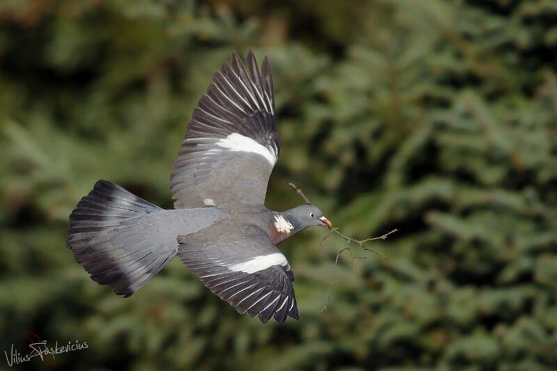 Kai skrenda keršulis nesunkiai atpažįstamas iš plačių, baltų sparnų juostų ir baltų šoninių kaklo dėmių.  Nuotr. aut.  V. Paškevičius.