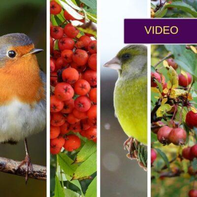 Paukščiai kieme: kokie augalai kokius paukščius privilioja