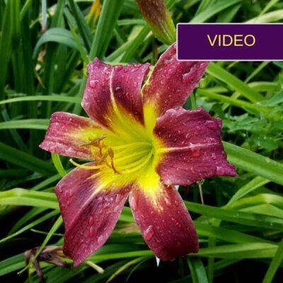 Fantastiškos viendienės: auginimas, dauginimas ir rekomenduojamos veislės