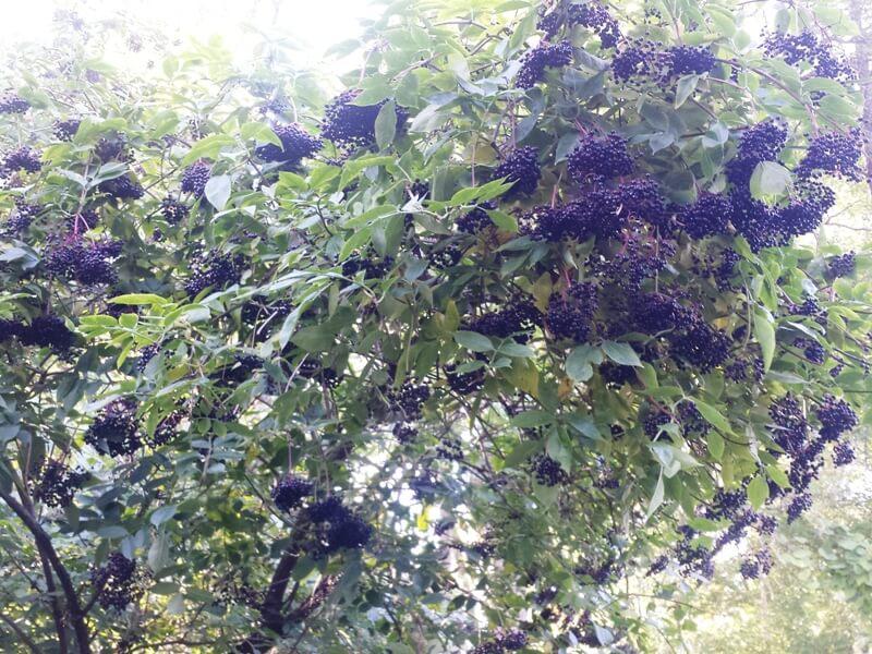 Juoduogis šeivamedis rudenį apsipila juodai mėlynų uogų kekėmis, kuriomis dažnai minta juodagalvės devynbalsės. Nuotr. aut. L. Liubertaitė.