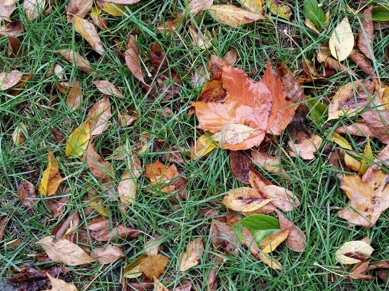 Yra vieta, kur lapų tikrai nereikia palikti žiemoti – tai veja. Nuotr. aut. L. Liubertaitė.