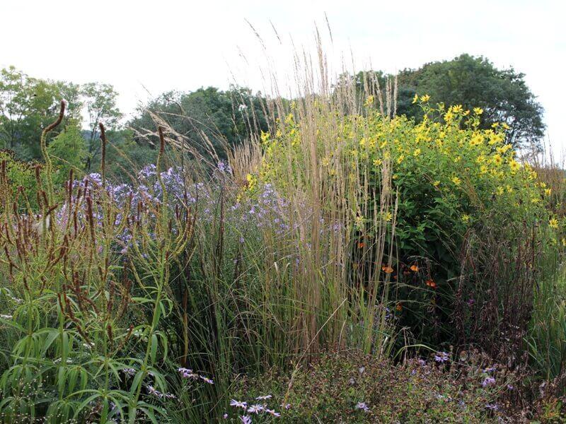 Smailiažiedis lendrūnas puikiai dera su daugeliu aukštesnių lauko augalų. Nuotr. aut. L. Liubertaitė.