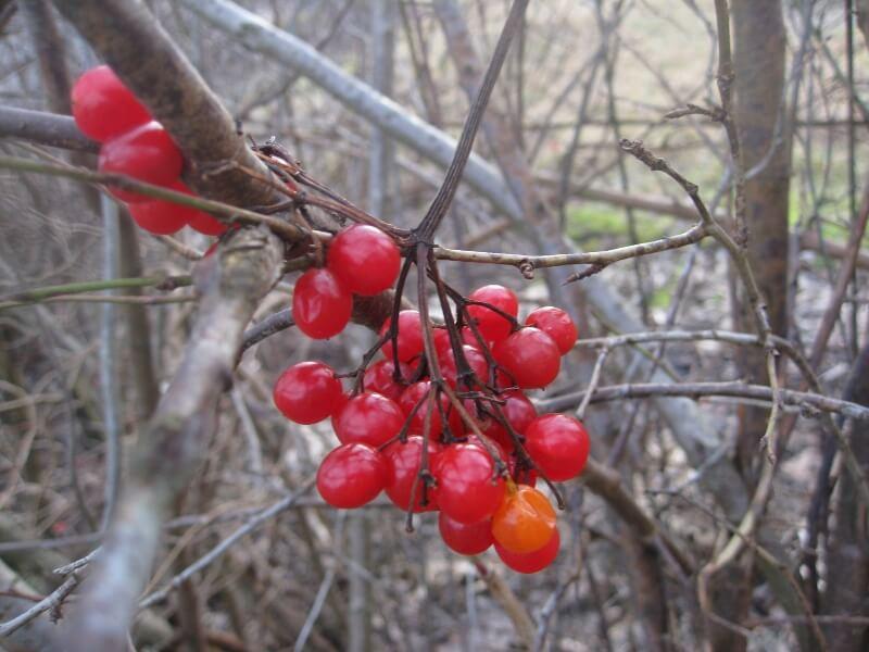 Putinas rudenį sunokina skaisčiai raudonas uogas, puikiai tinkamas paukščių maistui Nuot. aut. L. Liubertaitė.