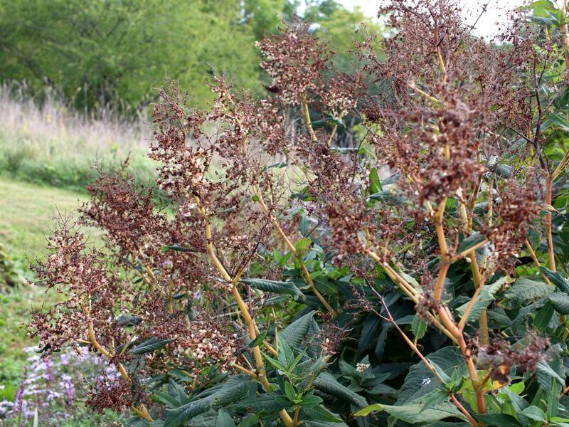 Rudenį rūgčių žiedynai paruduoja, tačiau net ir tuomet šis augalas A. Dobilienę žavi savo impozantišku grožiu. Nuotr. aut. L. Liubertaitė.