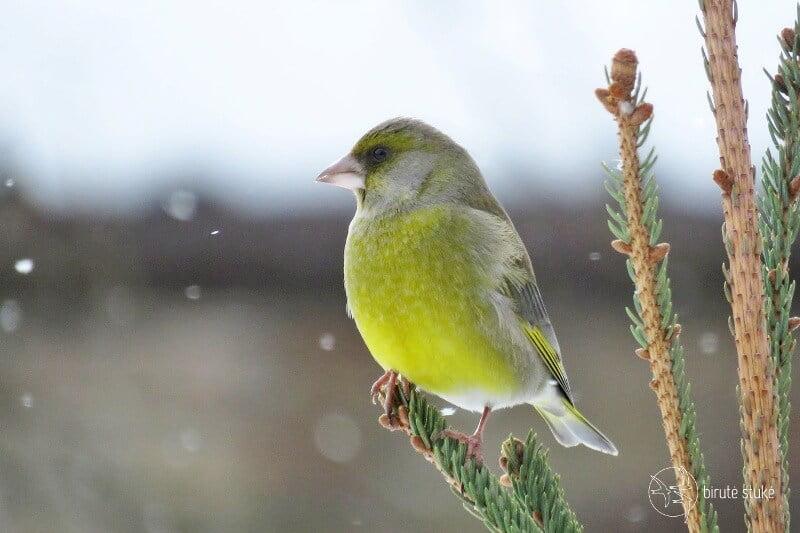 Žaliukę lengva pažinti iš ryškiai geltonos spalvos nugaros dalies. esančios prie uodegos ir sparnų. Nuotr. aut. B. Stukė.