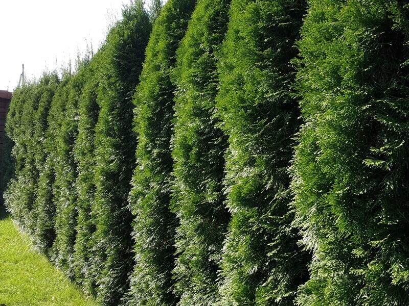 Iš 'Smaragd'' veislės tujų išauga puošni, žalia, gražios formos gyvatvorė. Nuot. aut. L. Liubertaitė..