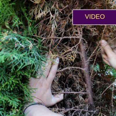 4 priežastys, kodėl ruduoja tujos: kaip atpažinti ir ką daryti