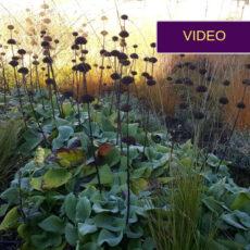 Kretingos gėlynai: ar pasiteisino daugiamečiai augalai vietoje vienmečių?