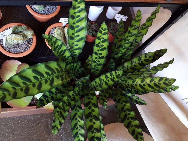 Katalėjos 'Lancifolia' lapai išsiskiria savo pailga forma. Nuotr. aut. L. Liubertaitė.