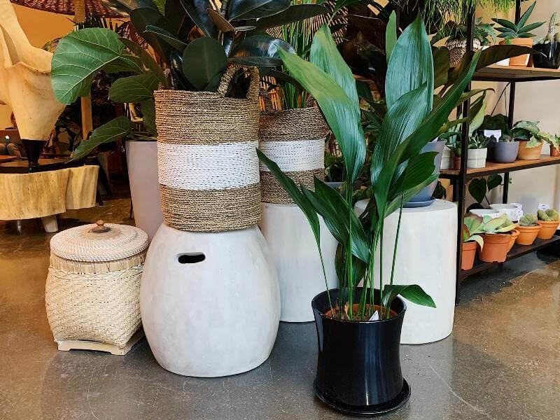 Aukštoji aspidistra - itin ištvermingas augalas, pakeliantis tiek tamsą, tiek vėsą. Nuotr. aut. L. Liubertaitė.