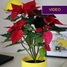 Kalėdinė gėlė puansetija: instrukcija ilgam jos žydėjimui