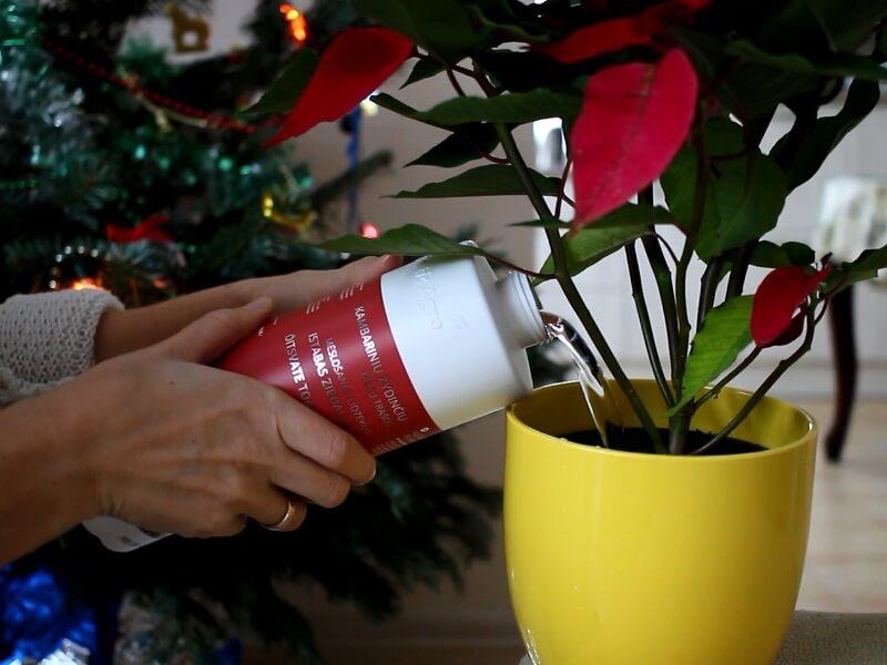 Toks butelis su 1 litru gatavų trąšų labai patogus, panašiai tiek ir sulaistysite vienai puansetijai per žydėjimo sezoną. Nuotr. L.Liubertaitė