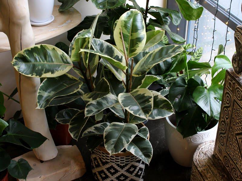 """Skandinaviškame interjere tinka """"tvarkingi"""" augalai, ypač turintys baltų atspalvių. Nuotr. aut. L. Liubertaitė."""