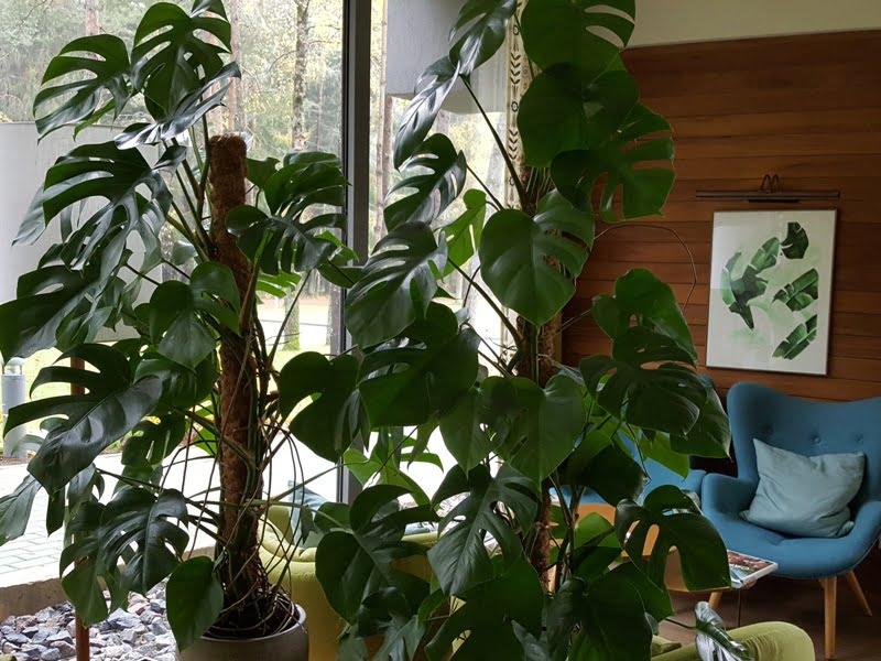 Džiunglių karalienė Monstera tapo populiariu augalu namų interjere. Nuotr. aut. L. Liubertaitė.