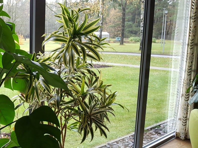Derindami kambarinius augalus tarpusavyje pagal dydį, šakotumą, tekstūra, galite sukurti įdomius derinius. Nuotr. aut. L. Liubertaitė.