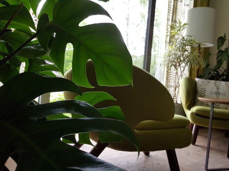 Nuostabiais kambarinių augalų lapais galima džiaugtis ištisus metus. Nuotr. aut. L. Liubertaitė.