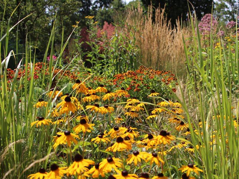 100 augalų: Garsusis Jacobstuin sodas Olandijoje, rudbekija.