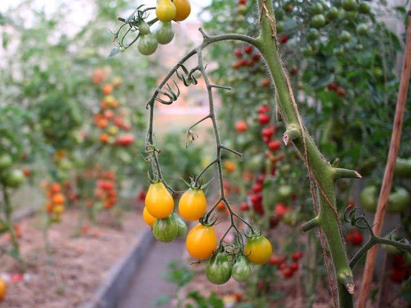 Geltoni vyšniniai pomidorai 'Medovaja kaplia' čia jau beveik suvalgyti. Saldūs ir skanūs. Nuotr. L.Liubertaitė