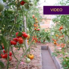 pomidorų sėklos iš ukrainos