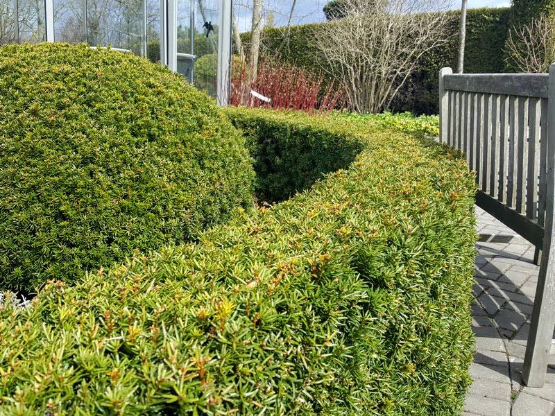 Vasarą ir rudenį geriau formuoti norint gražios lajos, nes pavasarinis genėjimas skatina naujus ūglius. Nuot. L.Liubertaitė