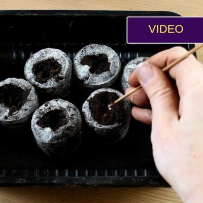 Pomidorų sėjimas: 3 paprasti būdai, kaip tai daryti