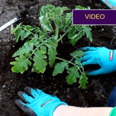 Pomidorų sodinimas šiltnamyje