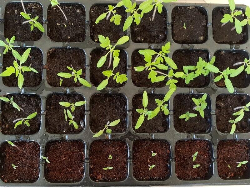 Skirtinguose substratuose sudygusios pomidoru seklos