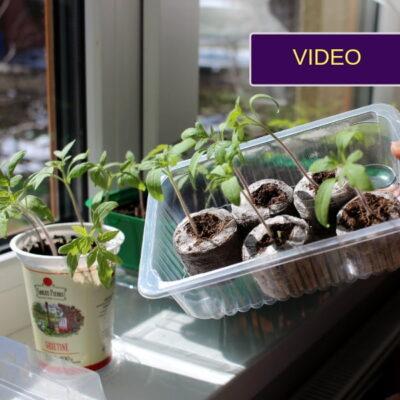 Kaip pikuoti pomidorus: aiški instrukcija pradedantiems