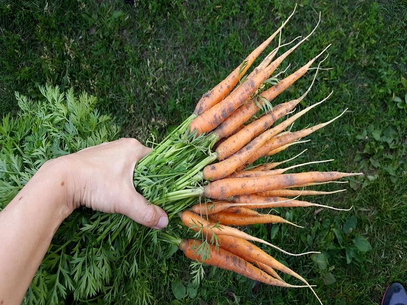 Kaip sėti morkas: morkų derlius