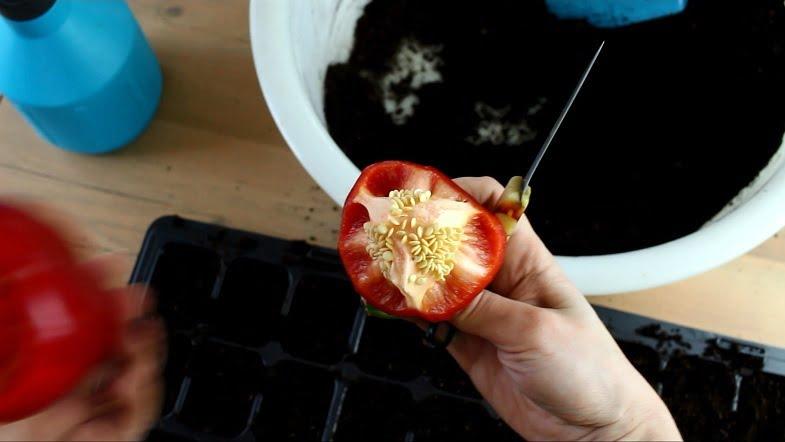 Kaip sėti paprikas; sėklų išpjovimas iš šviežios paprikos