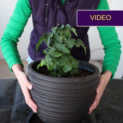 Pomidorų sodinimas į vazoną balkone