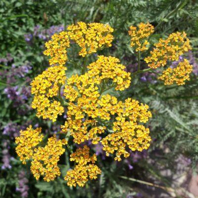 5 sausros nebijantys augalai: idėjos nelaistomam gėlynui
