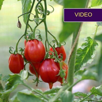 Skaniausių pomidorų veislės 2019: mano derlius šiltnamyje