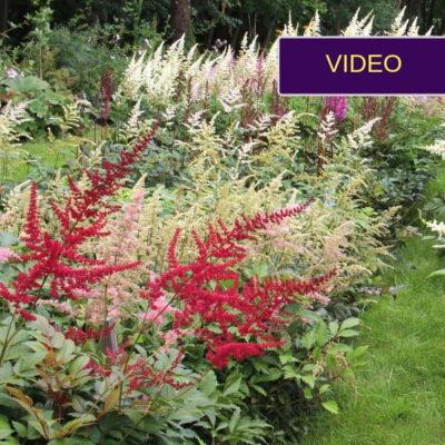 Astilbės iš žydinčio VDU botanikos sodo: apžvalga ir patarimai