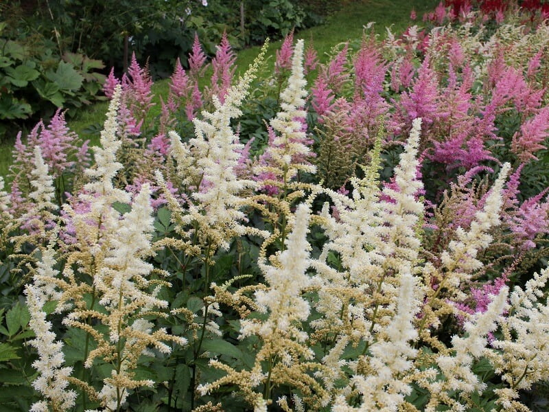 Astilbės iš žydinčio VDU botanikos sodo