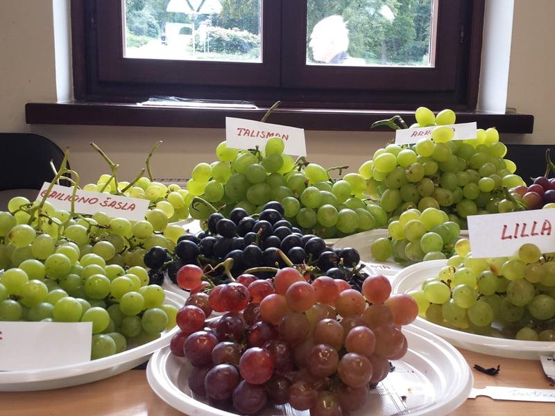 Vynuogių paroda Vu botanikos sode vyksta kasmet. Nuotr. L.Liubertaitė