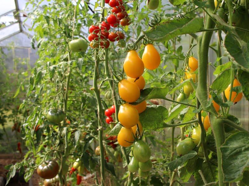 Pomidorai 'Medovaja kaplia' yra sultingi ir saldūs. Nuotr. L.Liubertaitė