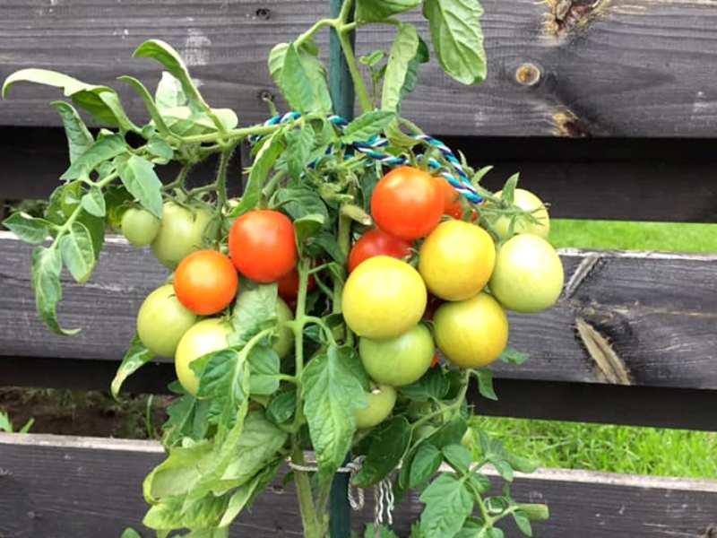 Pomidorų auginimas mokykloje. Vasaros metu