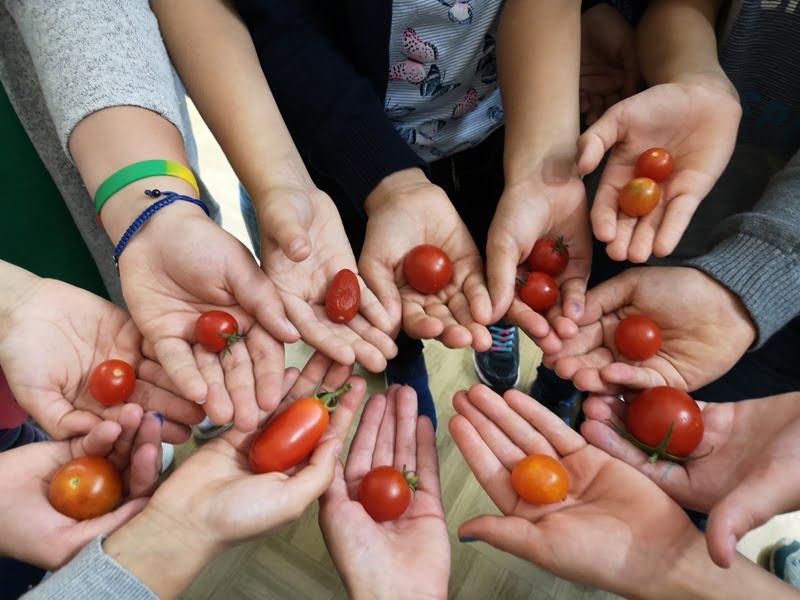 Pomidorų auginimas mokykloje
