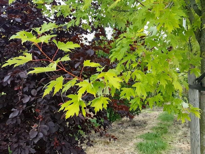 Klevas cukrinis (Acer saccharum) - ryški lapų spalva gražiai atrodytų ir alėjoje. Nuotr. L.Liubertaitė