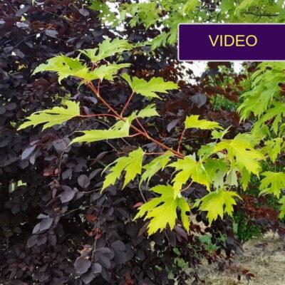 Dekoratyviniai medžiai: 7 principai, kaip pasirinkti tinkamą