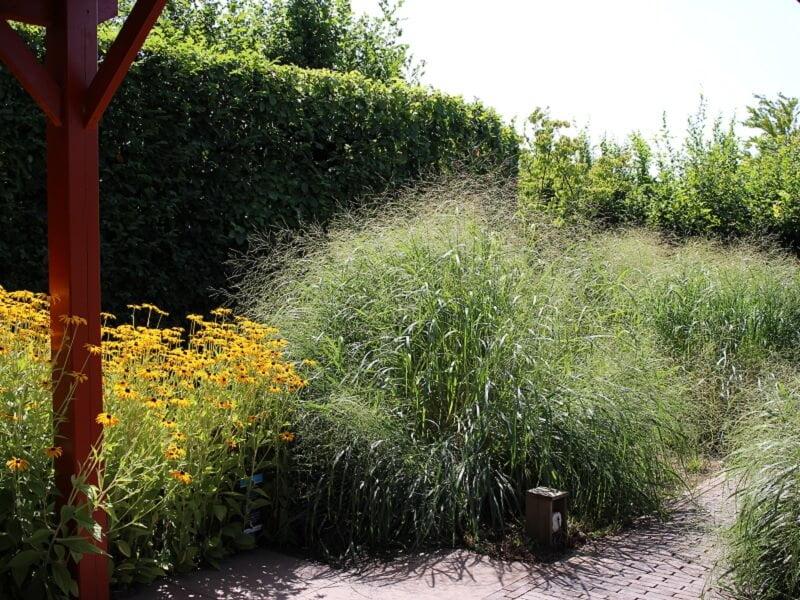 Išbaigtas vaizdas: gyvatvorė ir šalia jos augantys augalai. Nuotr. L.Liubertaitė