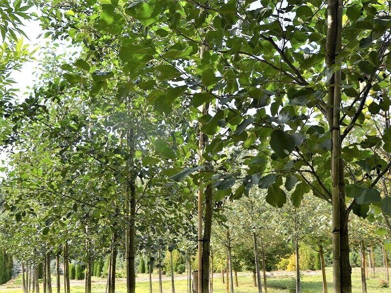 """Juodalksnis puikiai gali įsilieti į natūralią aplinką. Nuotr. iš """"Megaplantas"""" archyvo"""