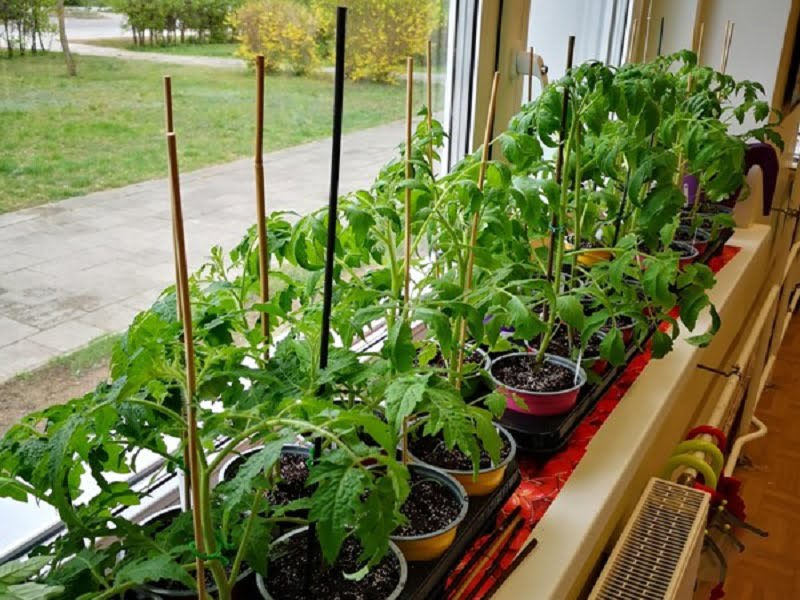 Pomidorai ant palanges