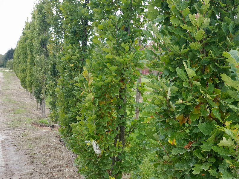 Koloninis ąžuolas - ąžuolas paprastasis (Quercus robur) 'Fastigiata Koster'. Nuotr. L.Liubertaitė